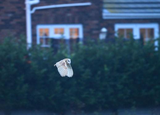 Male Barn Owl Hunting, Parson Drove